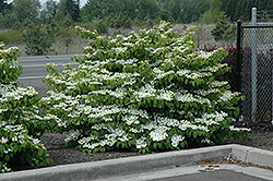 Shasta Doublefile Viburnum (Viburnum plicatum 'Shasta') at Good Earth Garden Market