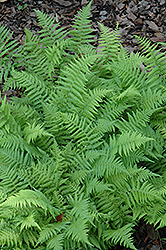 New York Fern (Thelypteris noveboracensis) at Good Earth Garden Market