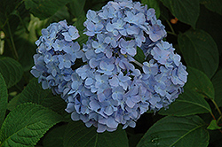 Nikko Blue Hydrangea (Hydrangea macrophylla 'Nikko Blue') at Good Earth Garden Market
