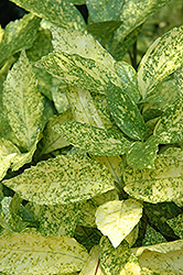 Gold Dust Aucuba (Aucuba japonica 'Gold Dust') at Good Earth Garden Market