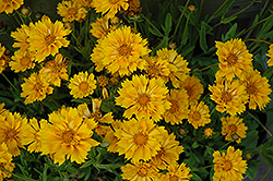 Jethro Tull Tickseed (Coreopsis 'Jethro Tull') at Good Earth Garden Market