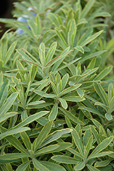 Ascot Rainbow Variegated Spurge (Euphorbia 'Ascot Rainbow') at Good Earth Garden Market