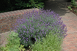English Lavender (Lavandula angustifolia) at Good Earth Garden Market