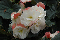 Dragone White Blush Begonia (Begonia 'Dragone White Blush') at Good Earth Garden Market