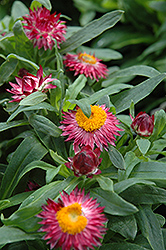 Mohave Dark Rose Strawflower (Bracteantha bracteata 'Mohave Dark Rose') at Good Earth Garden Market
