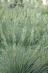 Elijah Blue Fescue (Festuca glauca 'Elijah Blue') at Good Earth Garden Market