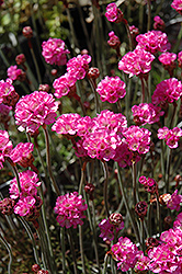 Red-leaved Sea Thrift (Armeria maritima 'Rubrifolia') at Good Earth Garden Market