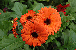 Orange Gerbera Daisy (Gerbera 'Orange') at Good Earth Garden Market