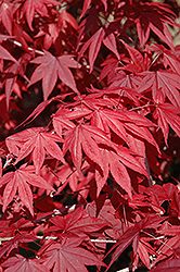 Emperor I Japanese Maple (Acer palmatum 'Wolff') at Good Earth Garden Market