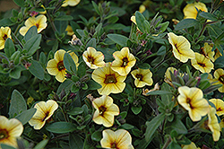 Superbells® Saffron Calibrachoa (Calibrachoa 'Superbells Saffron') at Good Earth Garden Market