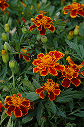 Durango Flame Marigold (Tagetes patula 'Durango Flame') at Good Earth Garden Market