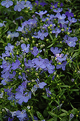 Riviera Sky Blue Lobelia (Lobelia erinus 'Riviera Sky Blue') at Good Earth Garden Market