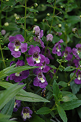 Archangel™ Purple Angelonia (Angelonia angustifolia 'Archangel Purple') at Good Earth Garden Market