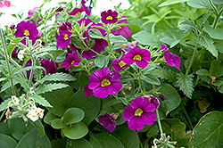 Superbells® Blue Calibrachoa (Calibrachoa 'Superbells Blue') at Good Earth Garden Market