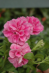 Double Wave Pink Petunia (Petunia 'Double Wave Pink') at Good Earth Garden Market
