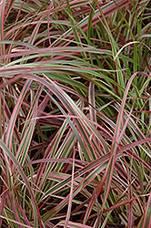 Fireworks Fountain Grass (Pennisetum setaceum 'Fireworks') at Good Earth Garden Market
