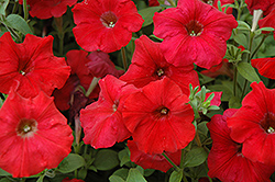 Easy Wave Red Petunia (Petunia 'Easy Wave Red') at Good Earth Garden Market