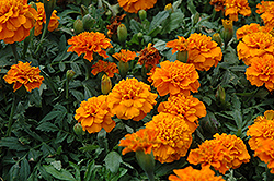 Janie Deep Orange Marigold (Tagetes patula 'Janie Deep Orange') at Good Earth Garden Market