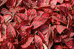 Splash Select Red Polka Dot Plant (Hypoestes phyllostachya 'Splash Select Red') at Good Earth Garden Market