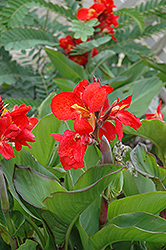 Tropical Red Canna (Canna 'Tropical Red') at Good Earth Garden Market