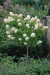 Limelight Hydrangea (tree form) (Hydrangea paniculata 'Limelight (tree form)') at Good Earth Garden Market