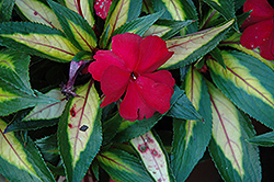 Strike Plum New Guinea Impatiens (Impatiens hawkeri 'Strike Plum') at Good Earth Garden Market