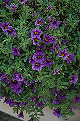 MiniFamous® Compact Dark Blue Calibrachoa (Calibrachoa 'MiniFamous Compact Dark Blue') at Good Earth Garden Market