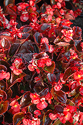 Yin Red Begonia (Begonia 'Yin Red') at Good Earth Garden Market
