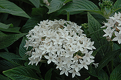 Butterfly™ White Star Flower (Pentas lanceolata 'Butterfly White') at Good Earth Garden Market