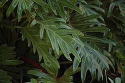 Xanadu Philodendron (Philodendron 'Winterbourn') at Good Earth Garden Market