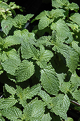 Mojito Mint (Mentha x villosa 'Mojito') at Good Earth Garden Market