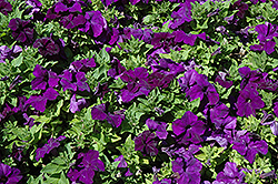 EZ Rider Blue Petunia (Petunia 'EZ Rider Blue') at Good Earth Garden Market