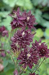 Clementine Dark Purple Columbine (Aquilegia vulgaris 'Clementine Dark Purple') at Good Earth Garden Market