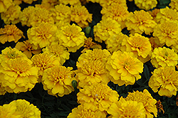 Janie Gold Marigold (Tagetes patula 'Janie Gold') at Good Earth Garden Market