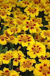 Disco Marietta Marigold (Tagetes patula 'Disco Marietta') at Good Earth Garden Market