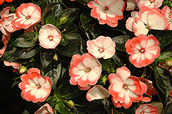 Harmony Radiance Coral New Guinea Impatiens (Impatiens hawkeri 'Harmony Radiance Coral') at Good Earth Garden Market