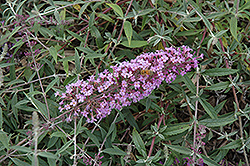Flutterby Flow® Lavender Butterfly Bush (Buddleia davidii 'Podaras 12') at Good Earth Garden Market