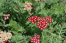 Song Siren Laura Yarrow (Achillea millefolium 'Song Siren Laura') at Good Earth Garden Market