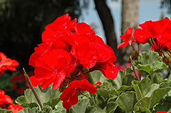 Fantasia® Cardinal Red Geranium (Pelargonium 'Fantasia Cardinal Red') at Good Earth Garden Market
