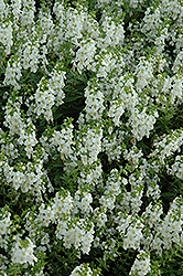 Serena White Angelonia (Angelonia angustifolia 'Serena White') at Good Earth Garden Market