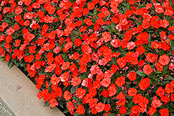 SunPatiens® Compact Electric Orange New Guinea Impatiens (Impatiens 'SunPatiens Compact Electric Orange') at Good Earth Garden Market