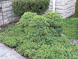 Dwarf Japgarden Juniper (Juniperus procumbens 'Nana') at Good Earth Garden Market