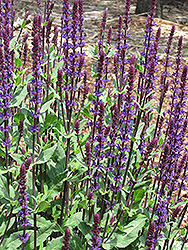 Caradonna Sage (Salvia x sylvestris 'Caradonna') at Good Earth Garden Market