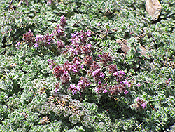 Wooly Thyme (Thymus pseudolanuginosis) at Good Earth Garden Market