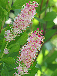 Ruby Spice Summersweet (Clethra alnifolia 'Ruby Spice') at Good Earth Garden Market