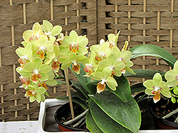 Hybrid Moth Orchid (Phalaenopsis x hybrida) at Good Earth Garden Market