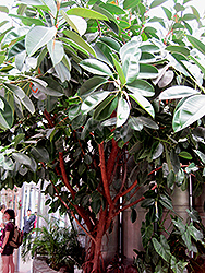 Rubber Tree (Ficus elastica) at Good Earth Garden Market
