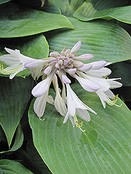 Halcyon Hosta (Hosta 'Halcyon') at Good Earth Garden Market