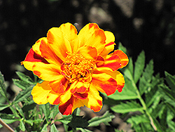 Safari Bolero Marigold (Tagetes patula 'Safari Bolero') at Good Earth Garden Market