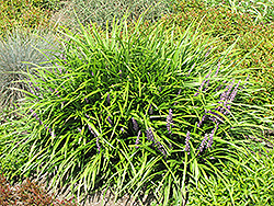 Lily Turf (Liriope spicata) at Good Earth Garden Market